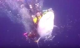 """นักดำน้ำลองดี ขี่หลัง """"ฉลามวาฬ"""" ปลอดภัย-ไม่โดนทำร้าย แต่โดนตำรวจอินโดจับ"""