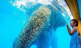 """""""หมอล็อต"""" ชี้ ช้างว่ายน้ำเก่ง โชว์ในสระไม่ถือเป็นการทารุณ"""