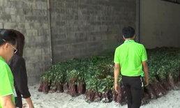 หลอกให้ปลูก! เกษตรกรร้องเรียนหลังบริษัทไม่ยอมจ่ายเงินค่ายอดมันญี่ปุ่น
