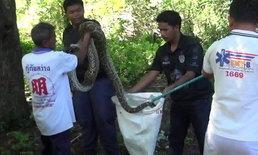 ผงะ! 2 งูเหลือมยักษ์บุกเขมือบไก่ชนในเล้า