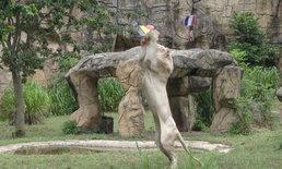 """ฟันธงเบลเยี่ยม! """"เจ้าบอย"""" สิงโตขาวตะปบชิ้นเนื้อทายทีมชาติเบลเยี่ยมเข้าชิงบอลโลก"""