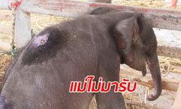 ยังไม่ได้กลับโขลง ลูกช้างป่าวัย 2 เดือนตกบ่อส้วม ถูกส่งไปอยู่กับแม่ใหม่