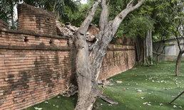 ต้นมะขามยักษ์โค่นทับ กำแพงเก่าเมืองกาญจน์ ชาวบ้านเสียดายเห็นพังกับตา