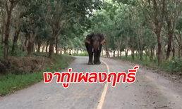 """ลุงเล่านาทีเผชิญหน้า """"ไอ้งาทู่"""" ช้างป่าวิ่งไล่กวดสุดระทึก เกือบเอาชีวิตไม่รอด"""
