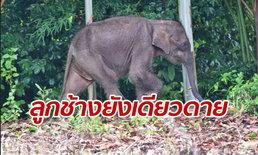 ลูกช้างยังไม่เจอหน้าแม่ เดินป่าเดียวดาย หลังพลัดหลงโขลงเกือบเดือน