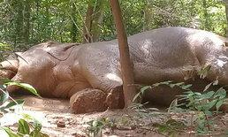 พบช้างสีดอบาดเจ็บกลางป่า จนท.เร่งตรวจสอบ พร้อมให้การรักษา