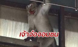 ลิงแสมตกจากรถพ่วงกลางถนน เดชะบุญไม่มีรถขับตาม ชาวบ้านช่วยจนเหนื่อย