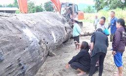 ขนลุก ผัวเมียฝันถึงนางไม้ ก่อนขุดพบต้นตะเคียนอายุกว่า 200 ปี ชาวบ้านขอหวยตามระเบียบ