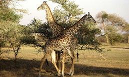 """""""ยีราฟ"""" ใกล้ถูกจัดอยู่ในกลุ่มสัตว์เสี่ยงสูญพันธุ์"""