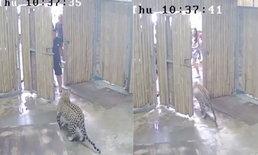 """สื่อนอกตีข่าว """"เสือดาว"""" หลุดออกจากกรงสวนสัตว์เกาะสมุย ตะปบเด็กอิสราเอลวัย 2 ขวบ"""