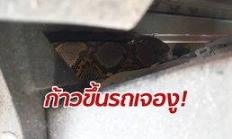 ก้าวขึ้นรถเจองู! หนุ่มสะดุ้งงูเหลือมยักษ์แอบซุก แห่จดป้ายทะเบียนเสี่ยงโชค