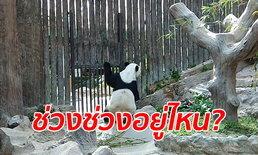 """สุดเศร้า เปิดคลิป """"หลินฮุ่ย"""" เกาะกรงมองหา """"ช่วงช่วง"""" ขณะผู้เชี่ยวชาญจีนถึงไทยคืนนี้"""