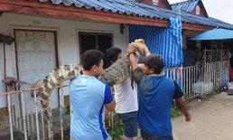 แตกตื่นทั้งชุมชน จระเข้หนักร่วม 100 กิโลกรัม โผล่กลางหมู่บ้าน