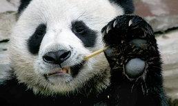 """สวนสัตว์เชียงใหม่แถลงสาเหตุการตายแพนด้า """"ช่วงช่วง"""" เกิดจากภาวะหัวใจล้มเหลว"""