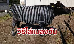 นี่วัวหรือม้าลาย! ญี่ปุ่นไอเดียบรรเจิด ทาสีขาวสลับดำ อ้างไล่แมลงได้ 50% น้องสบายตัว