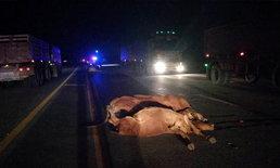 """""""โศกนาฏกรรมฝูงวัว"""" วิ่งตัดหน้ารถพ่วงตาย 6 ศพ มี 3 ตัวกำลังตั้งท้อง"""