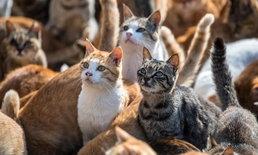 """""""อาโอชิมะ"""" ประเทศญี่ปุ่น เกาะนี้ """"แมว"""" คุม!"""