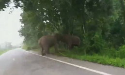 ระวังช้างป่าตกมัน! อุทยานประกาศเตือนหลังพบช้างตกมันเดินบนถนนหนองพลับ-ห้วยสัตว์ใหญ่