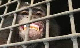 """ถอนอายัด """"ชิมแปนซีแคระ"""" ตัวเดียวในประเทศไทยของสวนสัตว์พาต้า"""