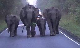 เตือน นทท. ระวังช้างพ่อแม่ลูก เดินหาไออุ่นบนพื้นถนน ที่อุทยานแห่งชาติเขาใหญ่