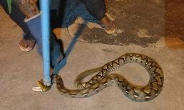 """""""งูเหลือม"""" ท้องป่องซุกหน้าบ้านขดตัวไม่ไหวติง-แม่เฒ่าผวารีบแจ้งกู้ภัยจับ"""