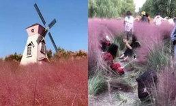 นักท่องเที่ยวจีนบุกถ่ายรูปทุ่งหญ้าสีชมพู ปลูกนาน 3 ปี พังหายหมดใน 3 วัน