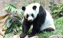 """โซเชียลโวยสวนสัตว์ให้ """"หลินฮุ่ย"""" กินไผ่แข็งทำฟันหลอ คนดูแลแจงแค่อายุมาก"""