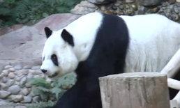 """สวนสัตว์เชียงใหม่ยืนยัน """"แพนด้าหลินฮุ่ย"""" ฟันสึกกร่อนมาตั้งแต่เด็ก"""