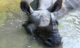 """แรดดำในสวนสัตว์ฝรั่งเศสตาย หลังสัตวแพทย์ """"รีดน้ำเชื้อ"""" เพื่อนำไปผสมเทียมแรดสาว"""