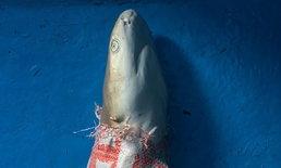 แชร์สนั่น ซากฉลามครีบดำซุกกระสอบ ลอยอ่าวมาหยา ทั้งที่ปิดอุทยานแล้ว