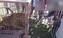 โซเชียลจีนวิจารณ์หนัก คลิปเด็กใช้ไม้ไผ่แหย่สิงโตในกรง ผู้ใหญ่ก็ร่วมด้วย