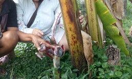 โค้งสุดท้าย ชาวบ้านแห่ขอเลขเด็ด ปลีกล้วยโผล่จากดินพร้อมเครือ