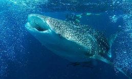 ตื่นตา ฉลามวาฬ โผล่ว่ายน้ำกินแพลงก์ตอน อวดนักท่องเที่ยวที่หมู่เกาะพีพี