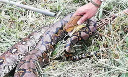 """ชาวบ้านผงะ! โร่แจ้งกู้ภัยจับ """"งูเหลือมท้องป่อง"""" นอนกกไข่โพรงป่าหญ้า"""