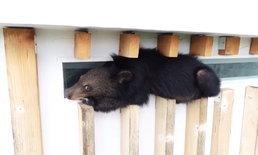 """เปิดปฏิบัติการช่วยเหลือ """"ลูกหมีจอมซน"""" ปีนขึ้นคอนโดเขาใหญ่ชั้น 6 นอนหงอยลงไม่ได้"""