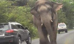"""""""เจ้าโยโย่"""" ช้างป่าเขาใหญ่ตกมัน-ปิดถนนตามหาคู่รัก นักท่องเที่ยวยืนถ่ายรูปไม่กลัวตาย"""