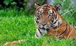 ฝากไว้ในอวกาศ จีนส่งดีเอ็นเอเสือใกล้สูญพันธุ์ขึ้นจรวด เก็บไว้นอกโลก