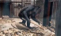 ลิงสาวสุดฉลาด สวมบทแม่บ้าน งานนี้กวาดไปด้วยหาของกินไปด้วย