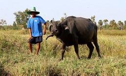 """โคราชฮือฮา """"เจ้าตู้"""" ควายไทยเพศเมียเขาโค้งลงเป็นเกลียว แปลกประหลาดกว่าควายไทยทั่วไป"""