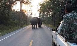 ภาพหาดูยาก เปิดศึกช้างชนช้างป่าแก่งกระจาน แย่งชิงพื้นที่ตามฤดูกาล