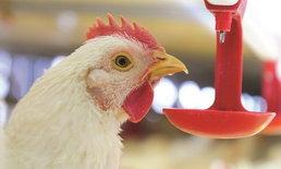 ปศุสัตว์วอนเลิกแชร์ข่าวมั่ว ลือกระฉ่อน หมู-ไก่เป็นโรคเอดส์