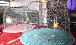 เจ้าของซุ้มไก่ชนสุดช้ำ ถูกโจรขโมยไก่ชนสายพันธุ์ดี 4 ตัวรวด มูลค่าเฉียดแสนบาท!
