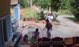 ลิงเก็บมะพร้าวหลุดวิ่งกัดเด็กน้อย โชคดีแม่อยู่ใกล้กดไว้จนลิงหนี (คลิป)