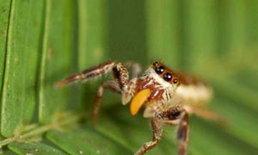พบแมงมุมประหลาดเป็นมังสวิรัติ
