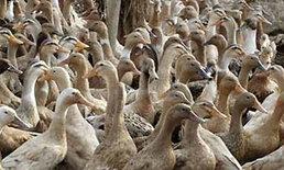 เวียดนามฆ่าสัตว์ปีกจำนวนมากเพื่อควบคุมหวัดนกระบาด