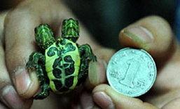 ตะลึึง! เต่าจิ่ว มีสองหัว