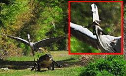 ระทึก! นกกระสาโฉบคาบลูกจระเข้ต่อหน้าแม่