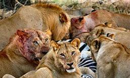 นาทีชีวิต! ฝูงสิงโตรุมกินม้าลาย