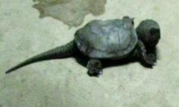 ฮือฮา! เต่าประหลาดหางยาวโผล่ที่ลำปาง