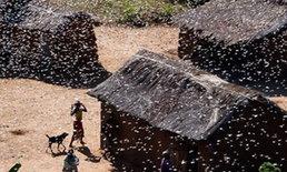 โรคจากตั๊กแตนคุกคามชาวเกาะมาดากัสการ์